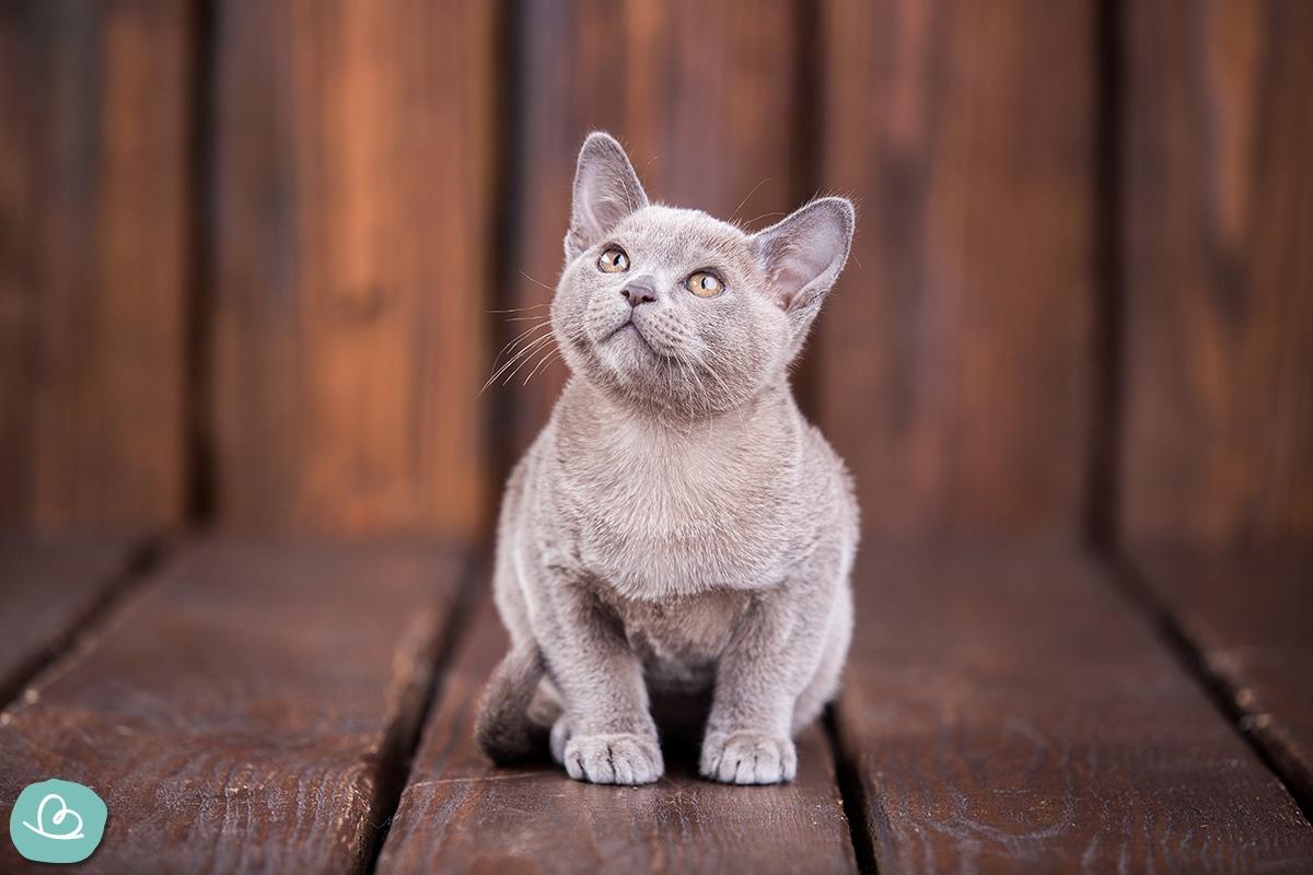 Allergiker Katzenrasse