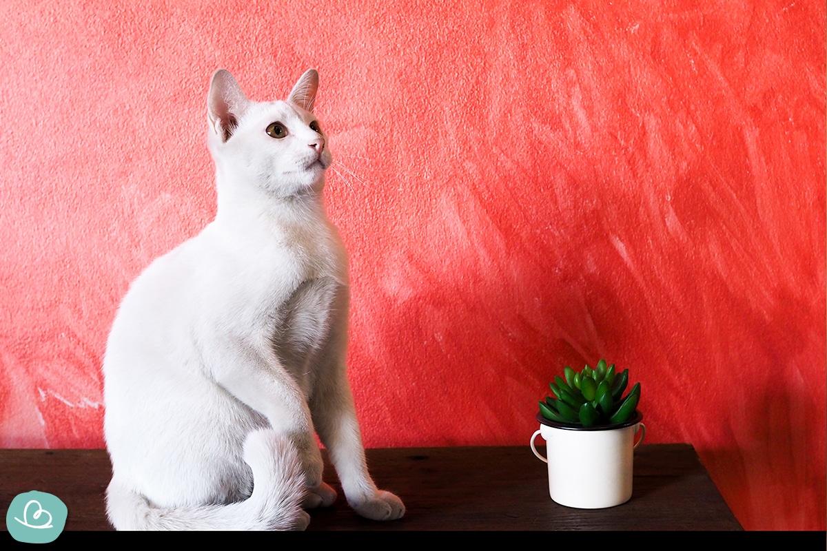 Katzenrasse für Allergien