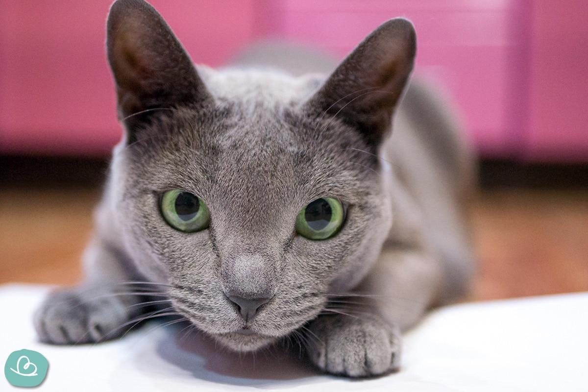 Russisch Blau Katze bei Allergien.