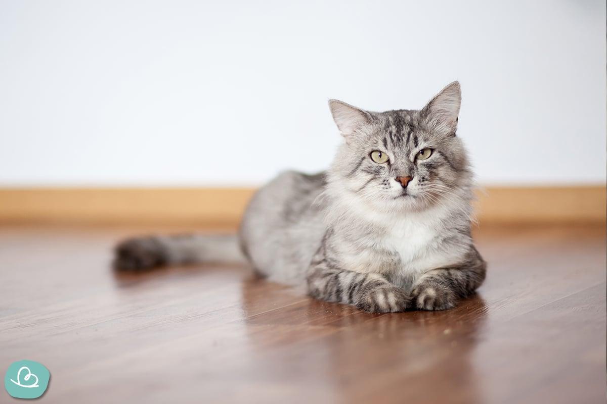 Katzenrassen bei Allergien