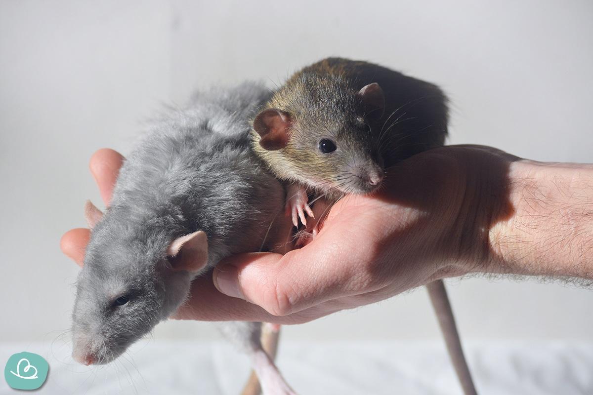 Zwei kleine Ratten in der Hand haltend.